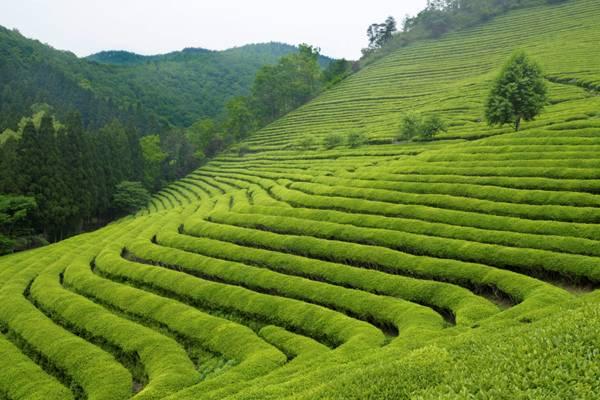 Πράσινο Τσάι: Ισχυρό όπλο έναντι του καρκίνου του προστάτη